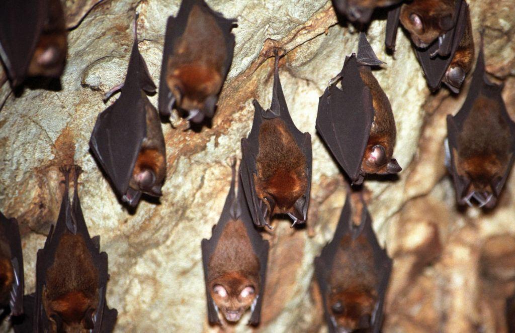 Летучие мыши свисают с потолка пещеры. Национальный парк Таман Негара Национальный парк Таман Негара Bat Cave Taman Negara 1 1024x663