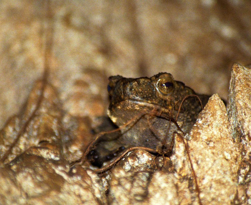 Лягушка смотрит на меня с каменного окуня в пещере. Национальный парк Таман Негара Национальный парк Таман Негара Frog Taman Negara Bat Caves 1 1024x838