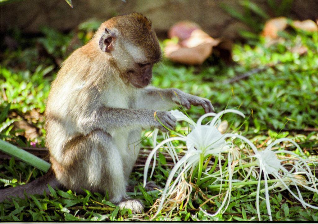 Обезьяна играет с белым цветком. Национальный парк Таман Негара Национальный парк Таман Негара Monkey Taman Negara 1 1024x724