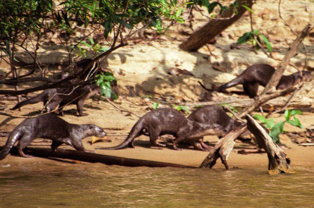 Речные выдры бегут вдоль берега, пока мы плывем по реке к национальному парку. Национальный парк Таман Негара Национальный парк Таман Негара River Otters Taman Negara 1 1024x678