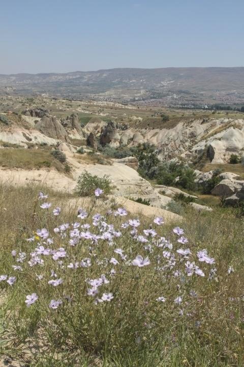 Flowers in Cappadocia
