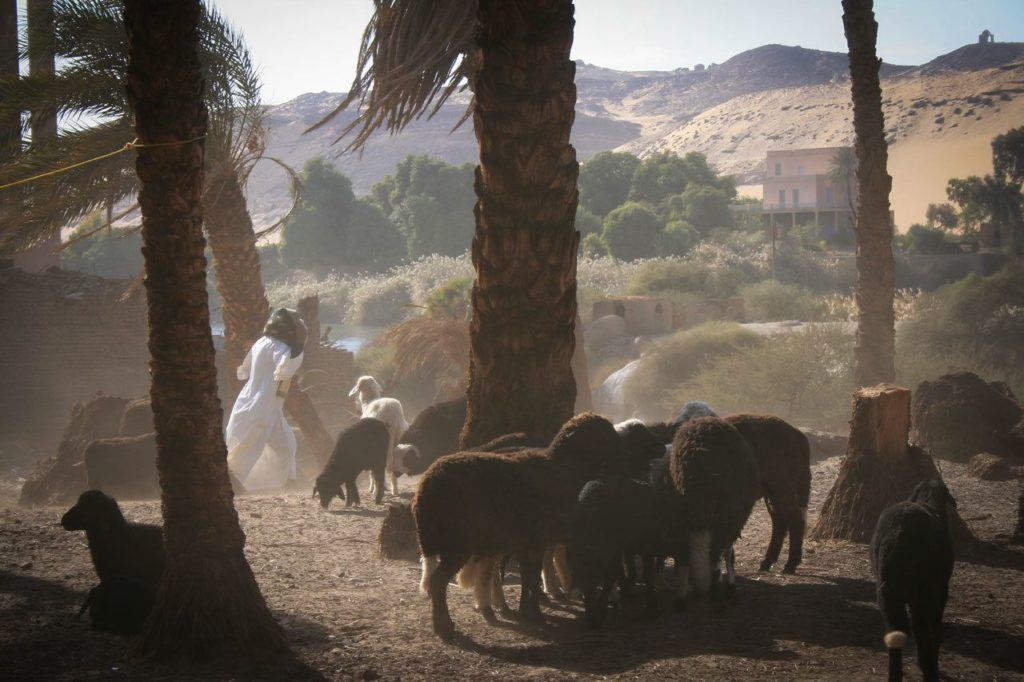 Nubian shepherds with their sheep on a windy day.