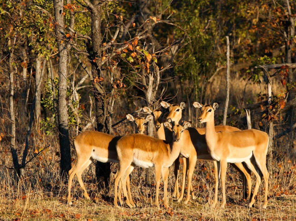 A flock of antelope in the evening light.