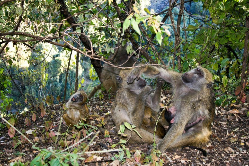 Baboons at Victoria Falls grooming themselves.