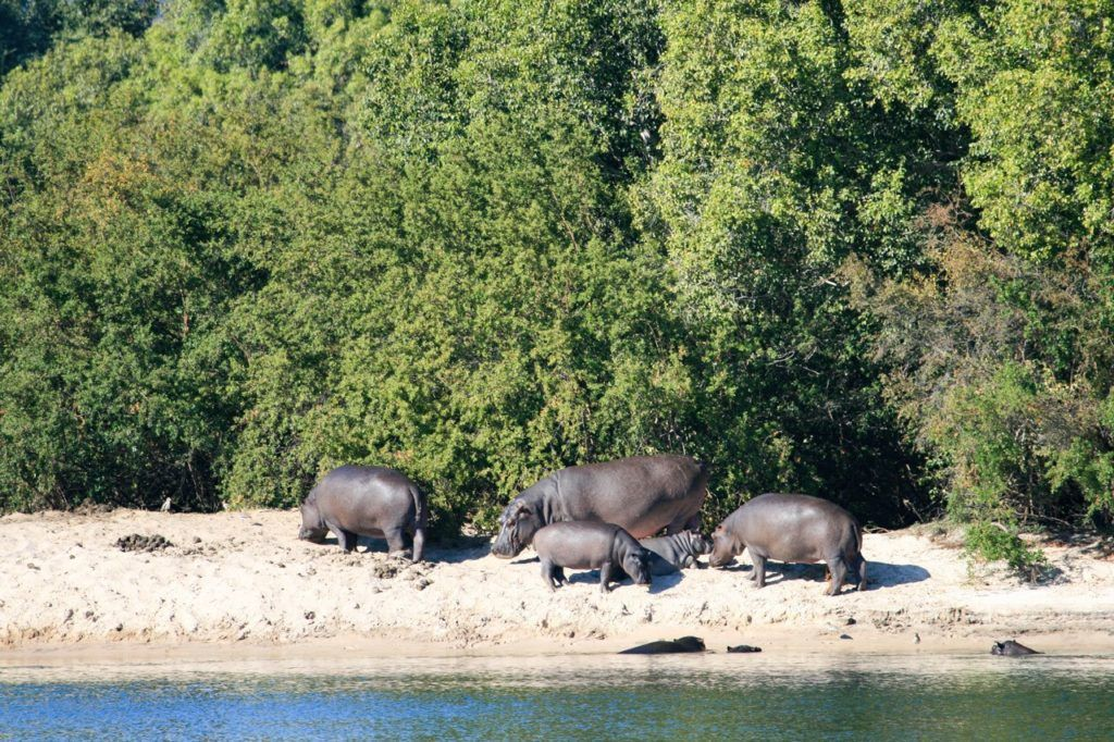 A family of hippos on the beach.