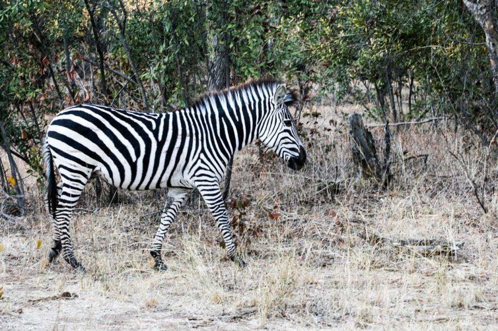 a zebra walks by.