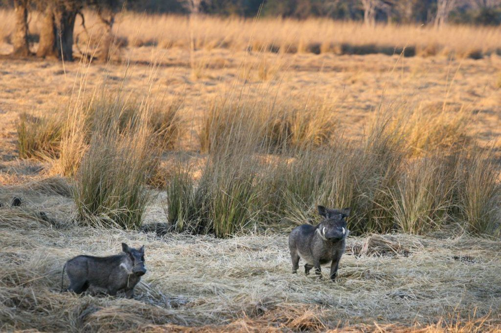 Two warthogs at dusk.