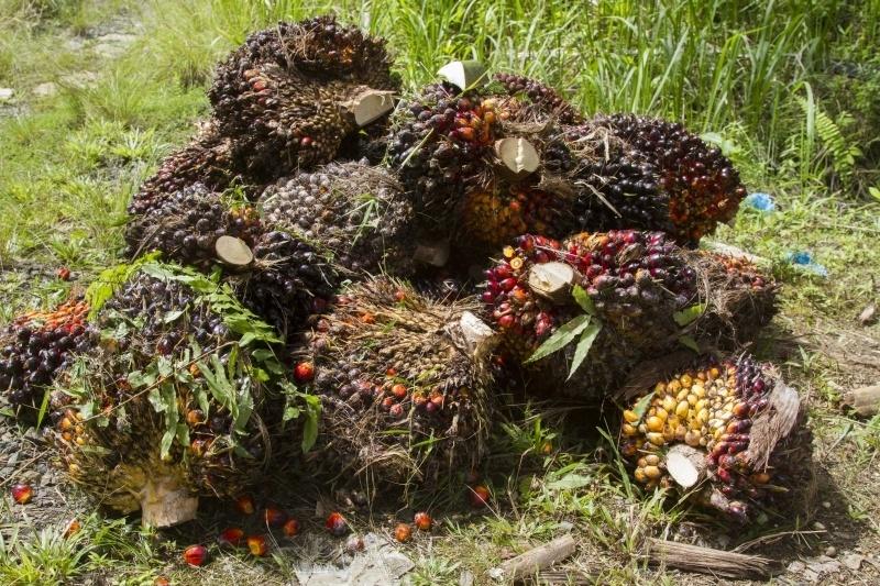 Borneo Palm Oil Plantation