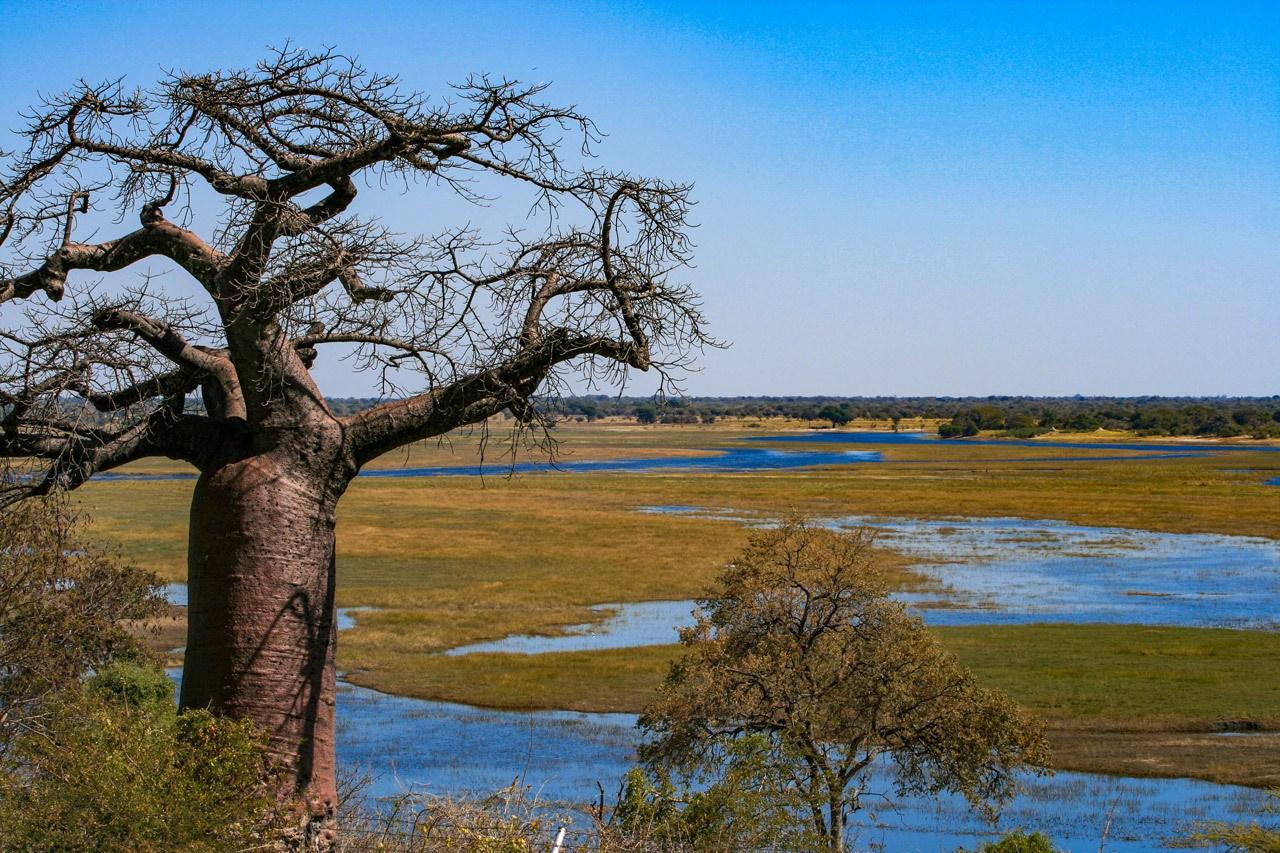 Baobab tree and part of Chobe River