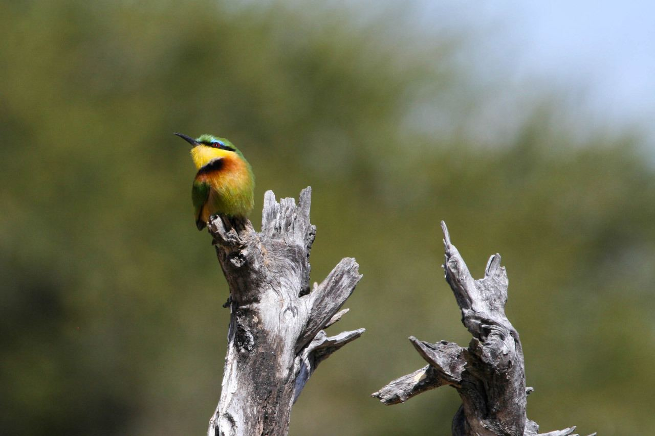A bee-eater sitting on a dead log