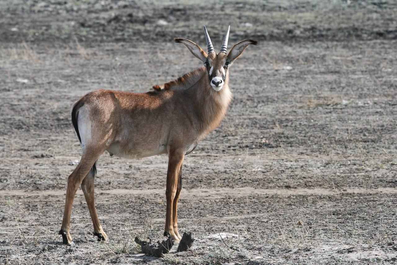 roan antelope looking at camera