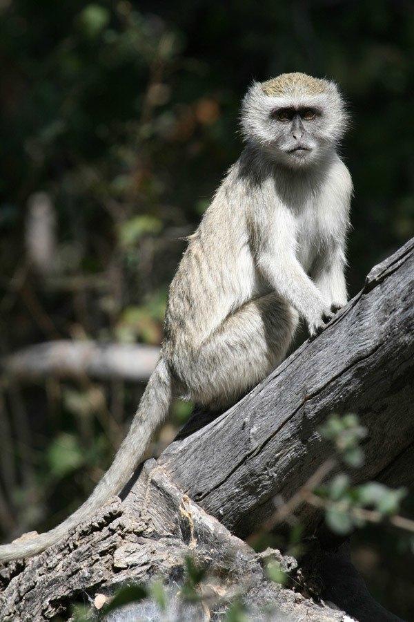 monkey on a log looking at camera