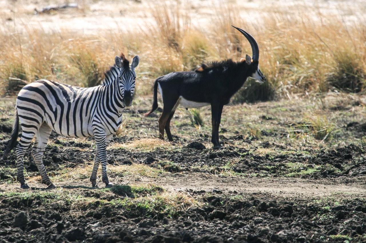 Zebra and sable antelope