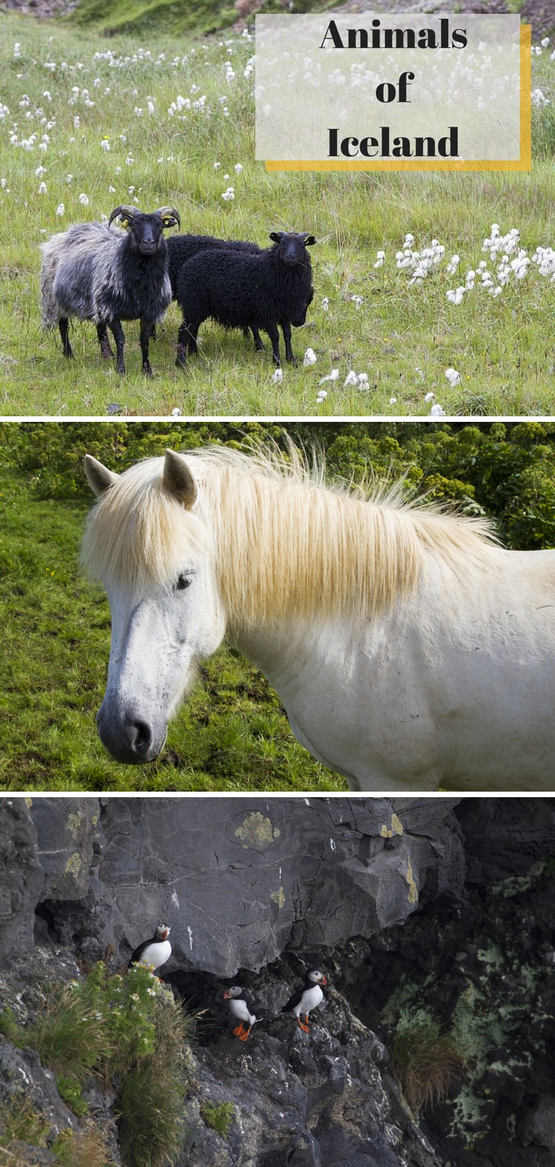 Animals of Iceland