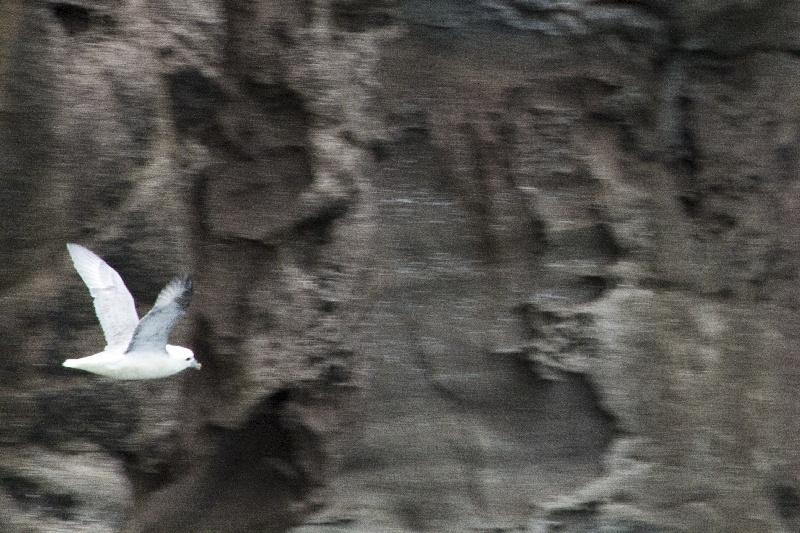 Vestmanna Cliffs Bird Watching