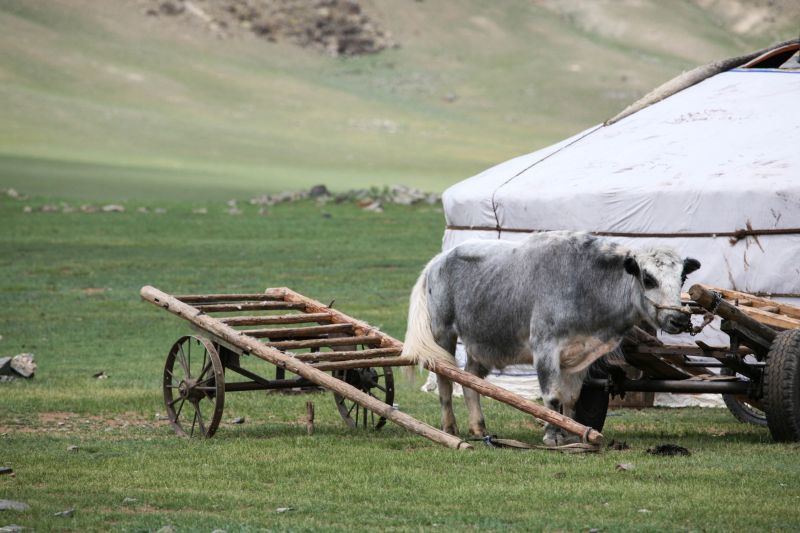 A yak and a ger, a typical scene all over Mongolia.