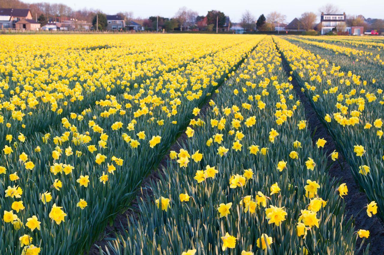 Tulips Netherlands