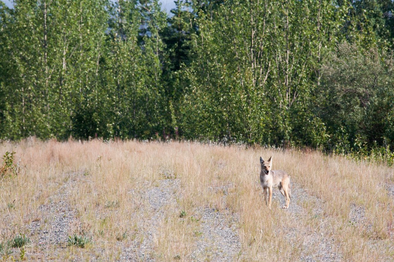 A lone coyote in Denali National Park and Reserve