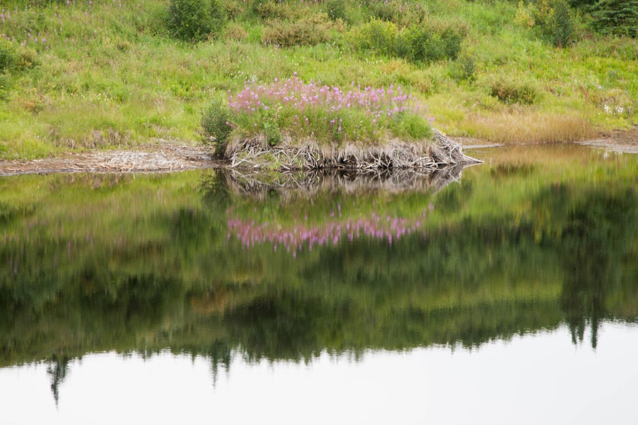 Beaver dam and its reflection in Denali National Park and Reserve