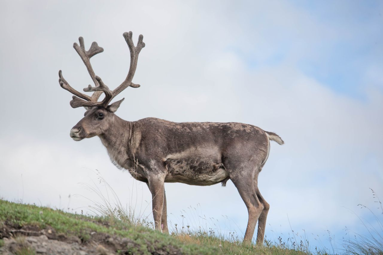 A caribou with velvet antlers because it's summer in Denali