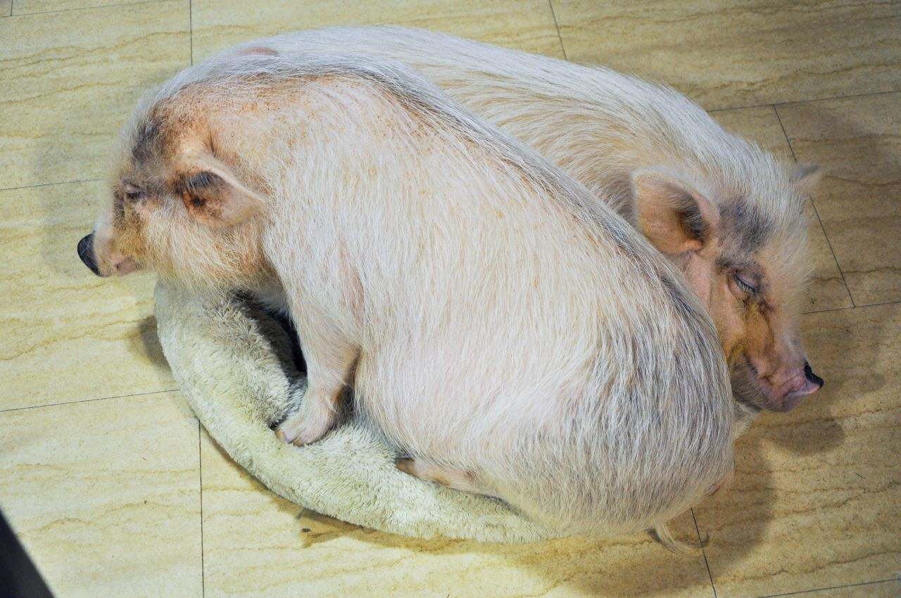 2 pigs cuddled up at the animal cafe in Osaka