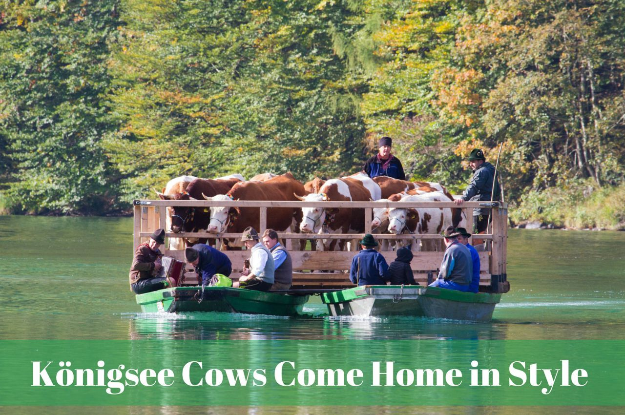 Boat Cows on the Königsee