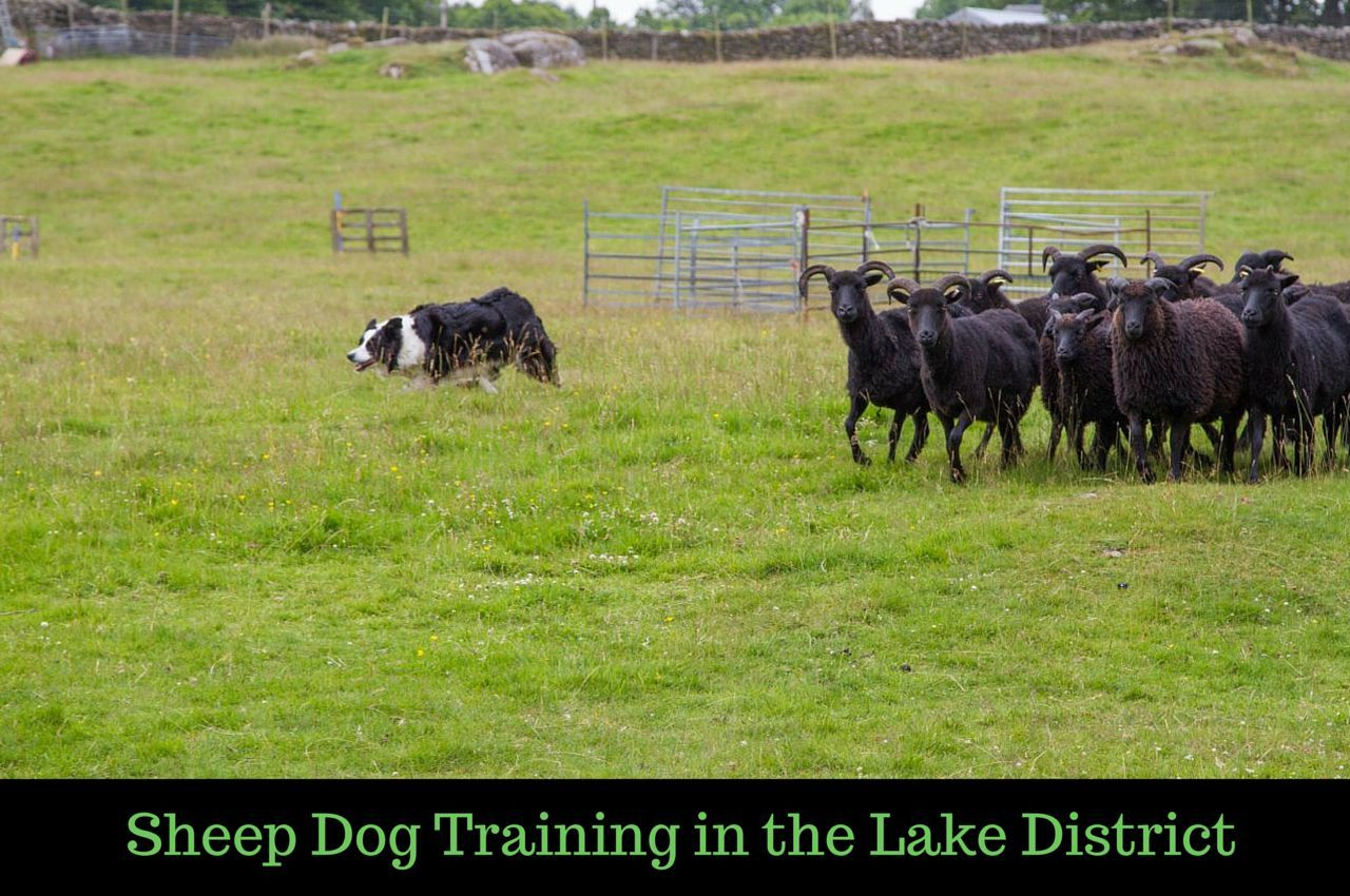 Sheep Dog Training in the Lake District