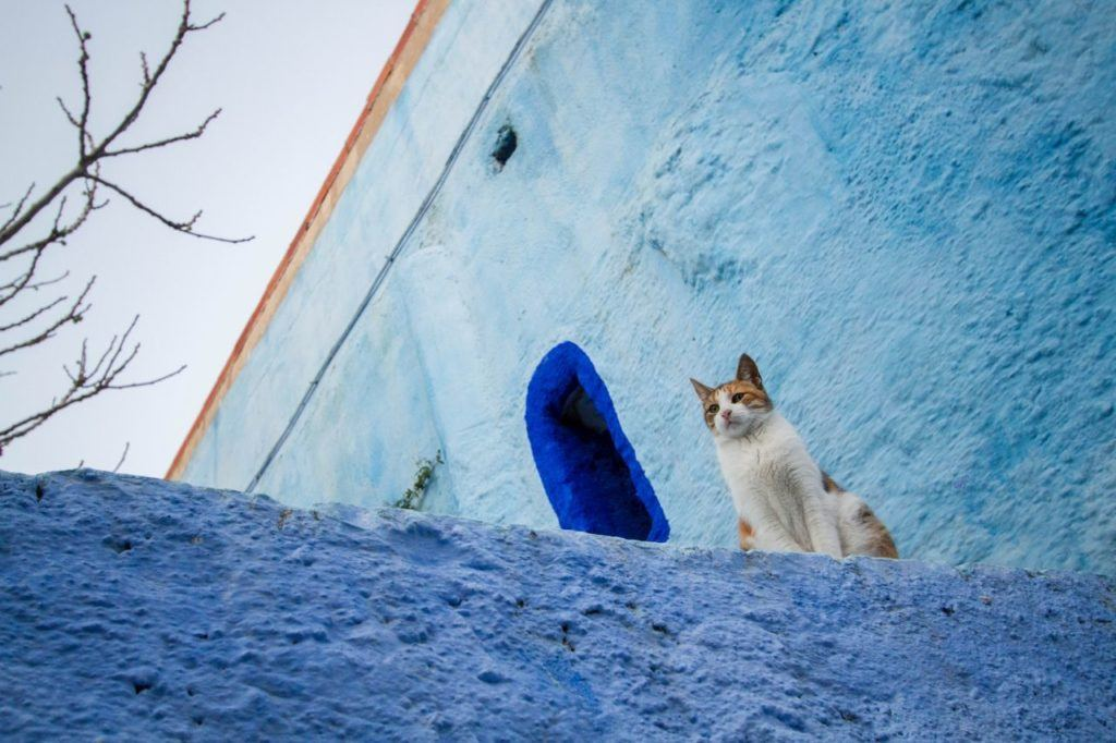 An orange and white cat on a blue Chefchaouen wall.