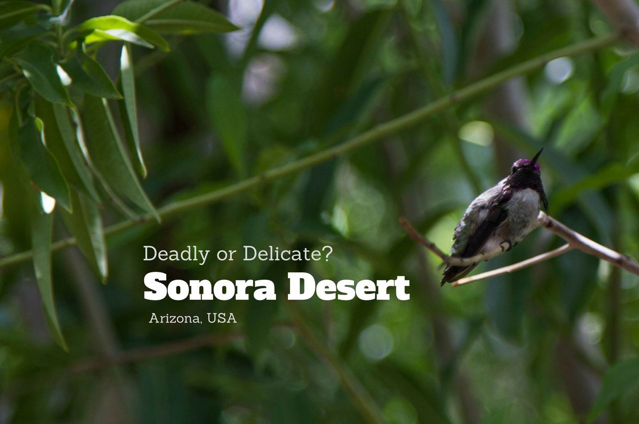 Deadly or Delicate? Exploring the Sonora Desert