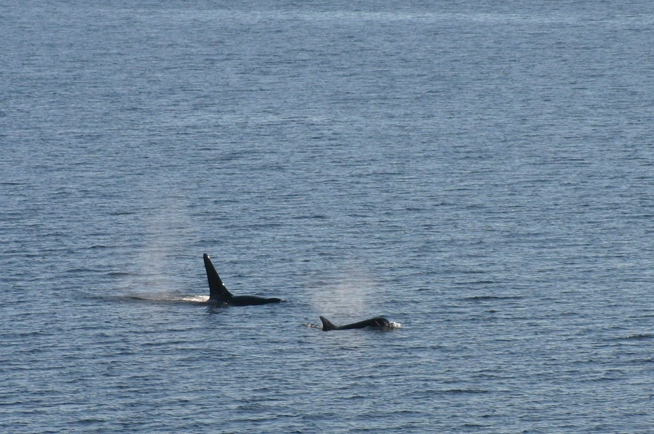 Whale watching off the boat! Orcas!