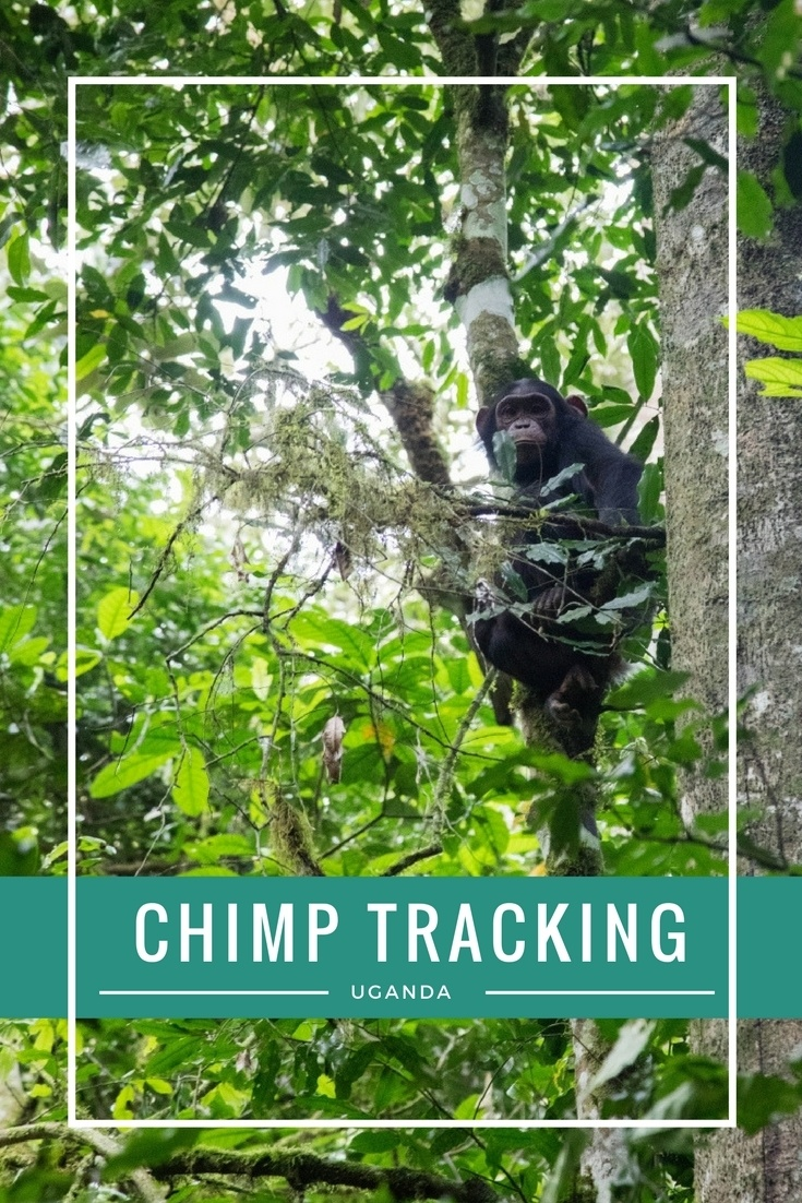 Have you dreamed of going on safari and getting up close with chimpanzees. Click here to find out how to do just that!