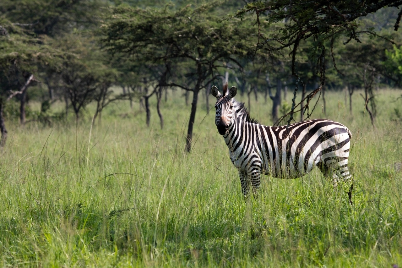 In Mburo National Park, a zebra stairs down the car on our Uganda Self Drive
