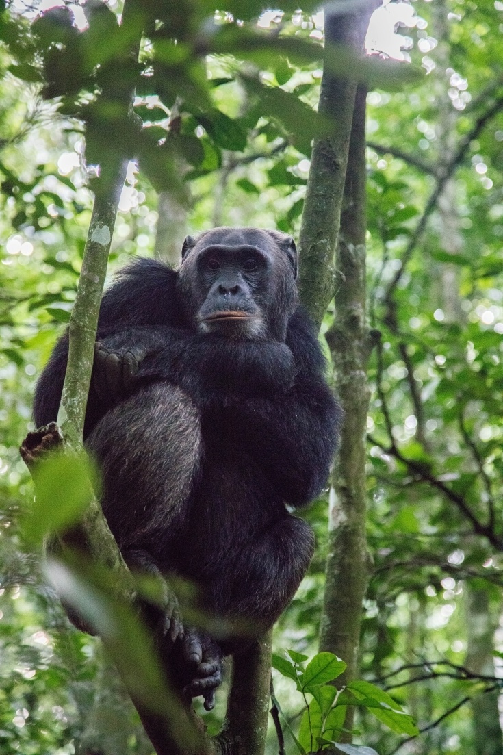 Chimpanzees are human's nearest relative, can you see why? Click here to learn how you can meet some of these wonderful animals in the wild.