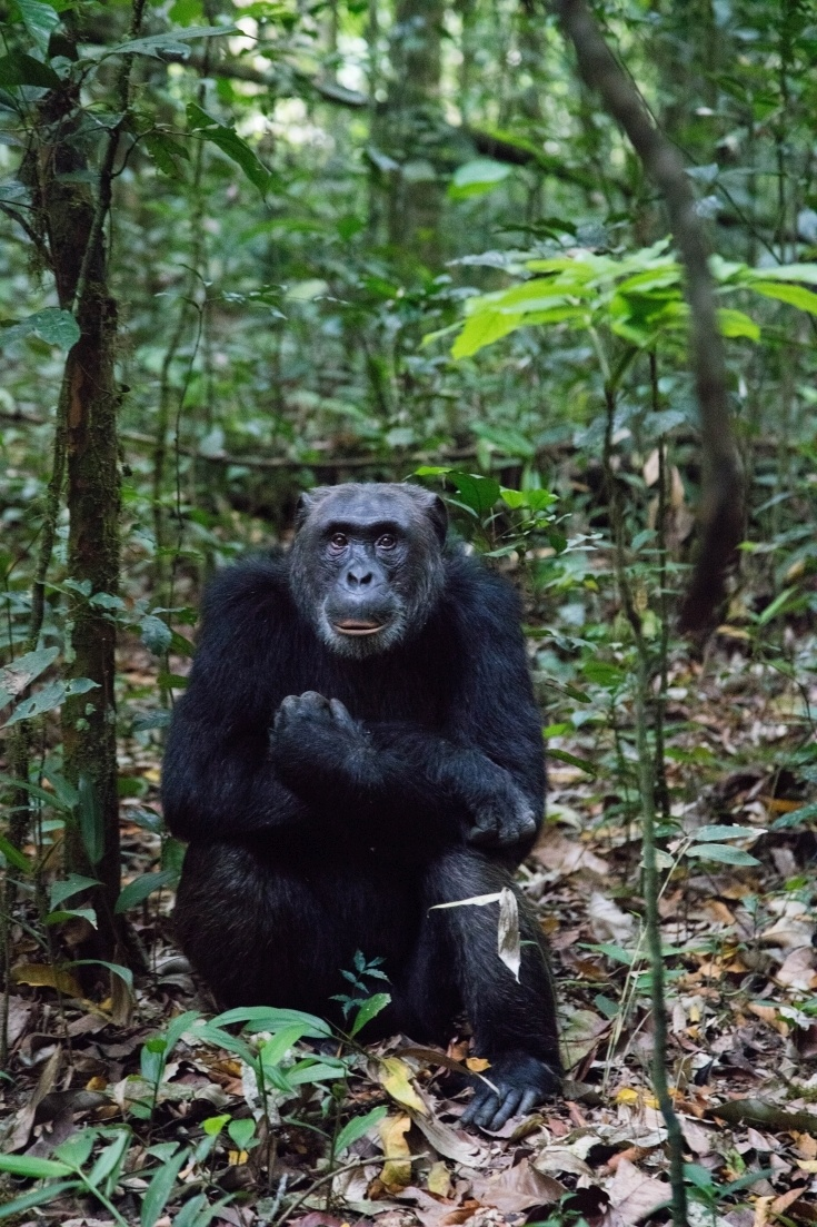 Going on a safari and spending the day with chimpanzees was our dream. Click here to find out how we did it, so that you can too!
