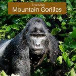 An Enchanting Encounter with the Mountain Gorillas of Bwindi Impenetrable Forest