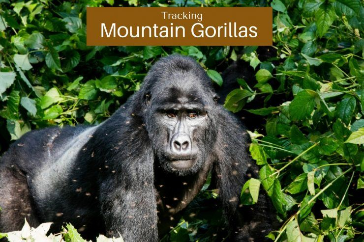 the mountain gorillas of Bwindi in Uganda