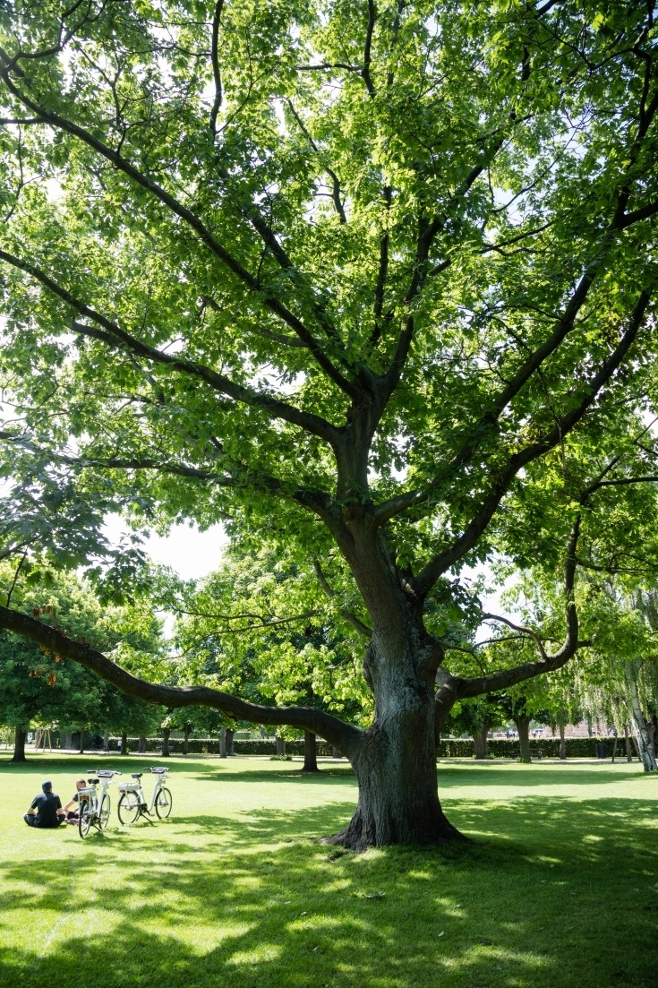 Beautiful green tree with two bikes and the people relaxing.