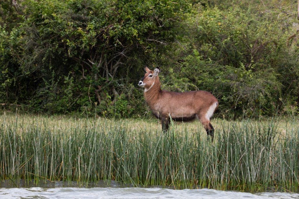 A Ugandan defassa waterbuck looks alert along shore in Elizabeth National Park.