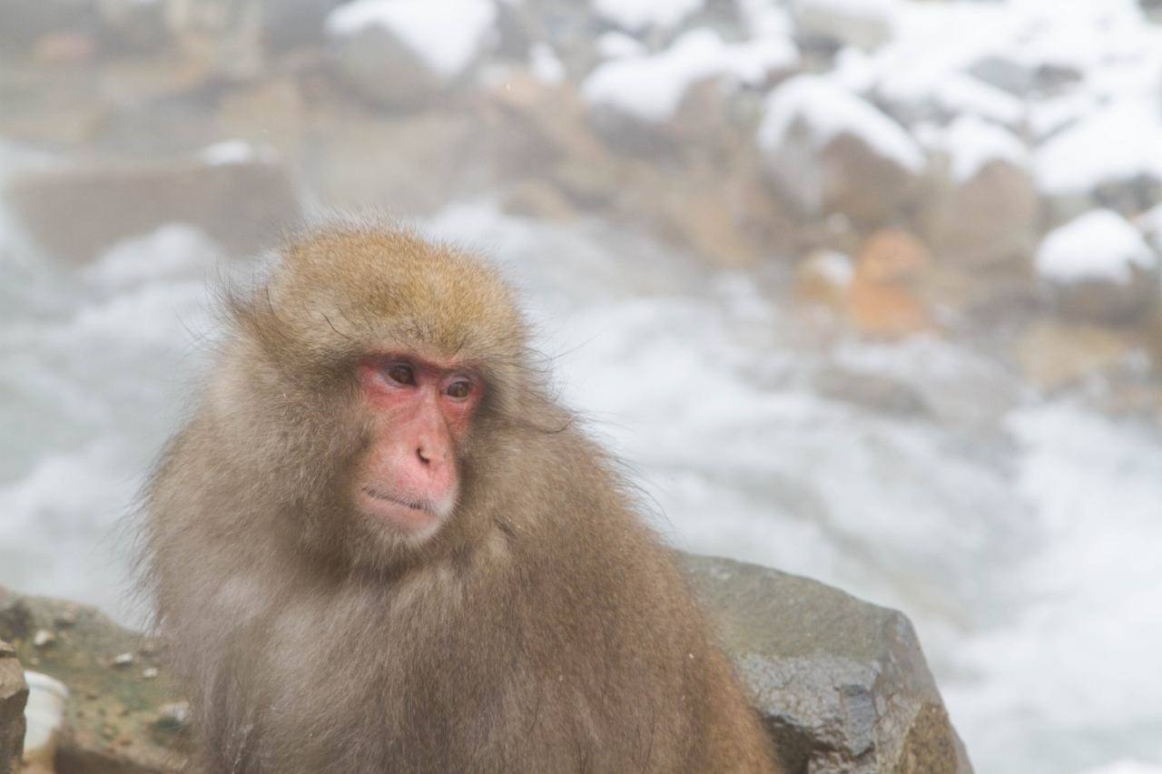 You usually find the snow monkeys in Japan lounging in hot springs