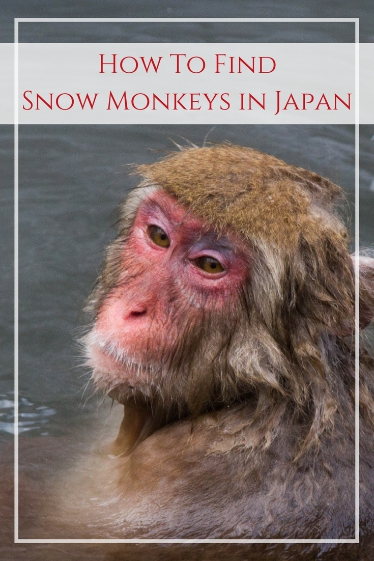 Bucket List! Everyone wants to see the Japanese snow monkey taking a bath, right? Click here to watch our video so you can add it to your Japan itinerary!.................................................travel inspiration | wildlife | guide | travel tips