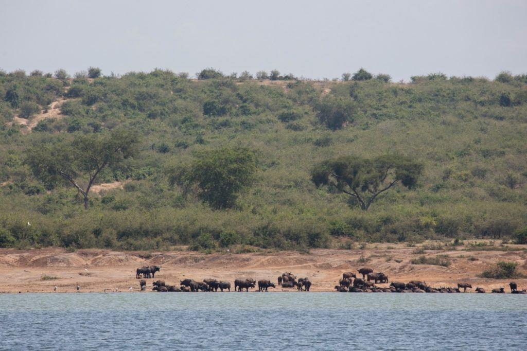A herd of Cape buffalo along the Kazinga Channel in Elizabeth National Park, Uganda.