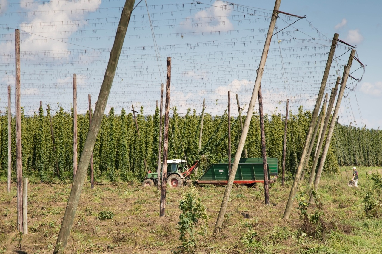 Farmers harvesting of the hops vines near Munich in the Hallertau region of Bavaria.