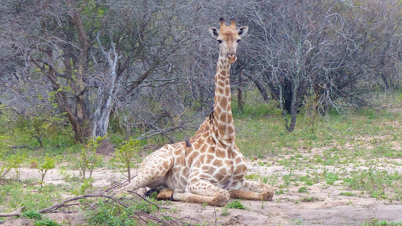 Giraffe sitting down on the ground.