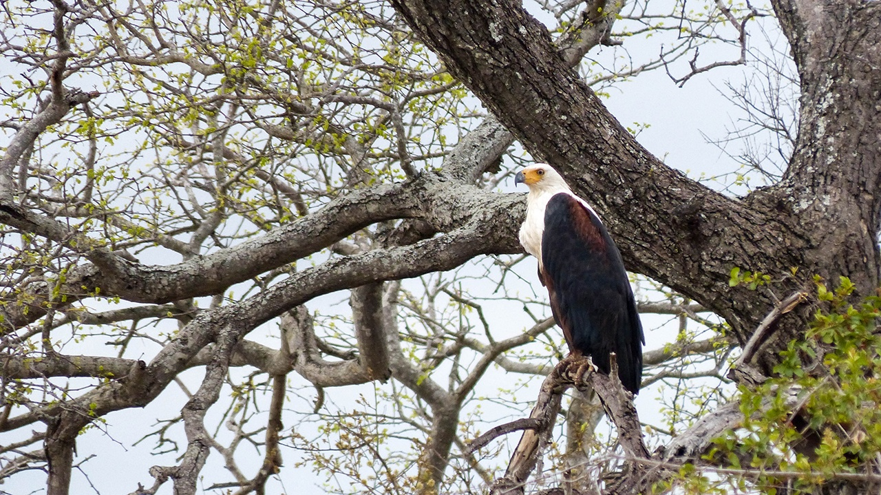 African eagle in a tree.