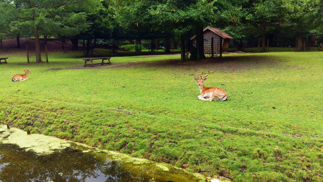 2 deer lay on the grass in Den Haag.