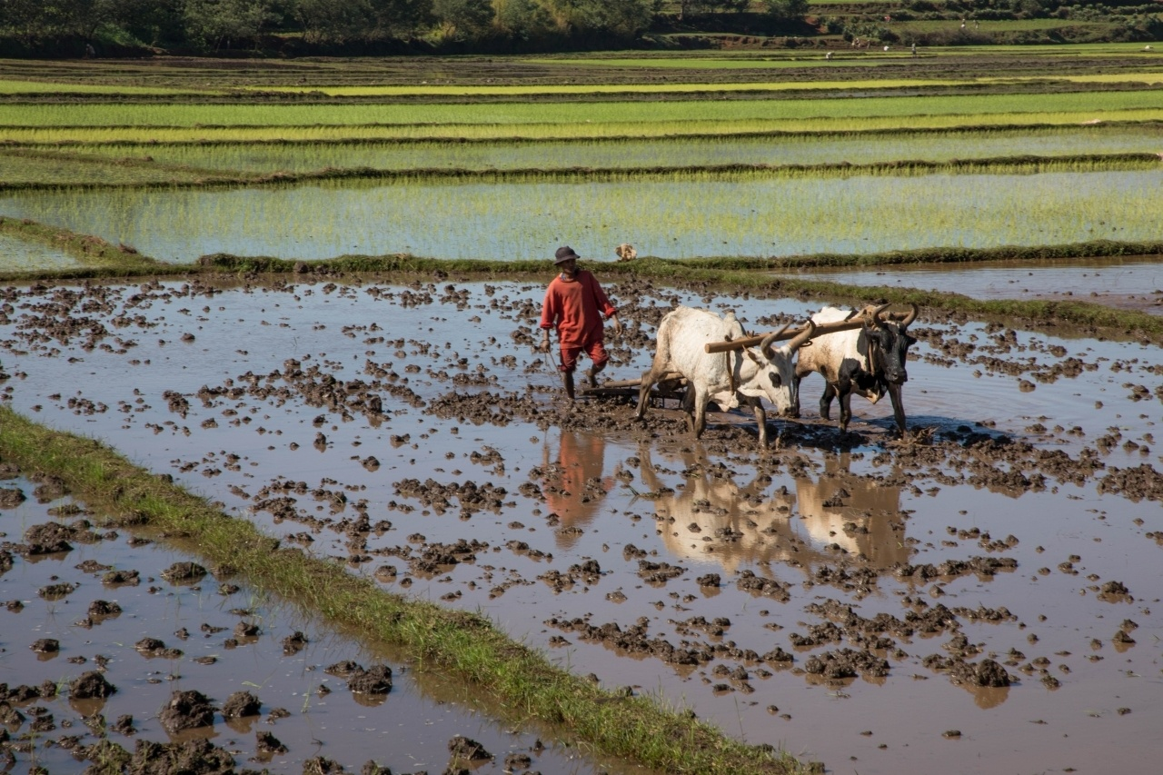A Malagasy man plowing his rice field with his zebu.