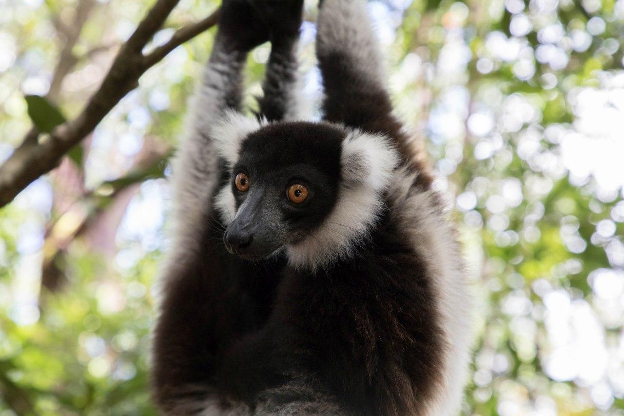 A white and black raft lemur.
