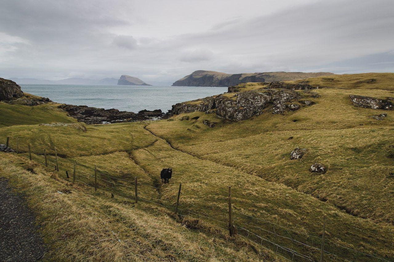 Sheep, water, coast, Faroe Island
