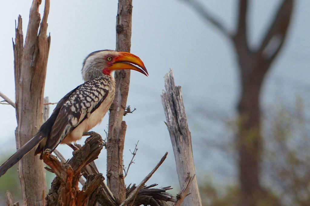 Yellow Hornbill-Hwange National Park