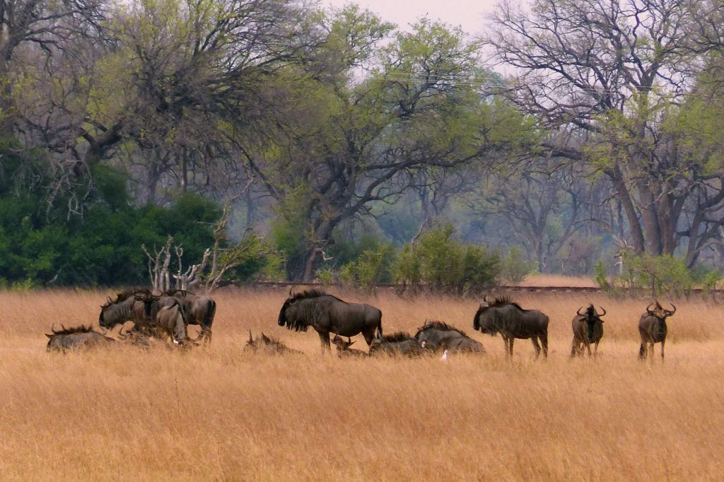A group of Wildebeests lounging near the railroad tracks as our train passed by.